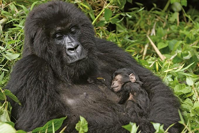 Gorilla-Mutter mit ihrem Jungen