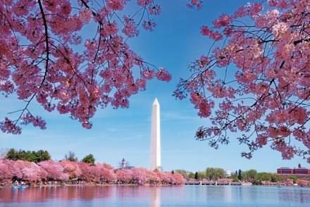 Blick durch Kirschblütenbäume und über das Tidal Basin auf den Obelisk (Washington Monument)