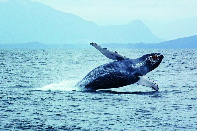 Buckelwal gesichtet auf einer Whale Watching-Tour