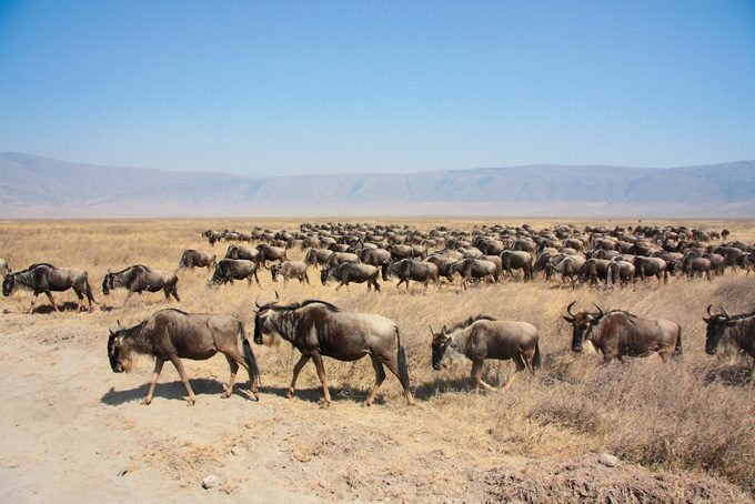 Gnuherde, Tansania