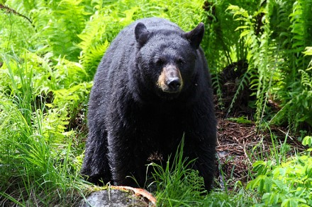 Ein typischer Schwarzbär