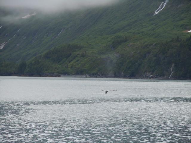 Grauwal beim Prince William Sound
