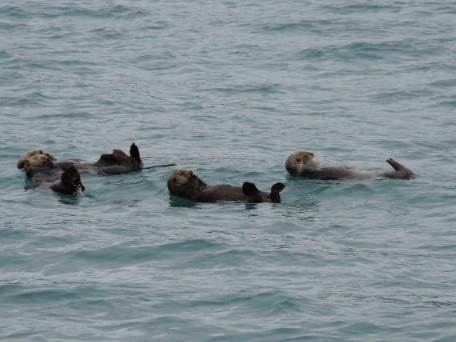 Sind die Seeotter beim Prince William Sound nicht süss?