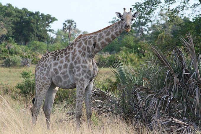 Giraffe im Okavango Delta