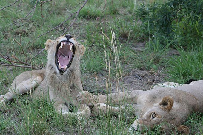 Löwe mit Löwen Mamma