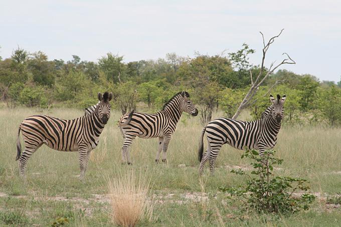 Safari im Linyanti Gebiet