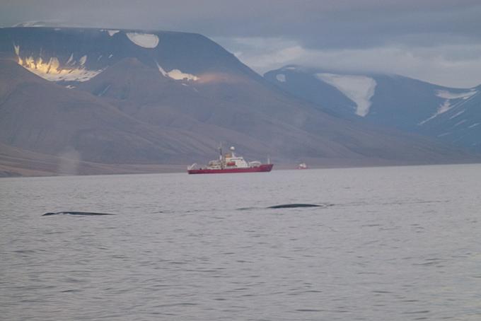 Blauwale im Isfjord
