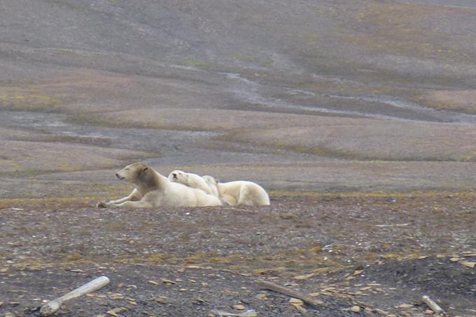 Eisbärfamilie