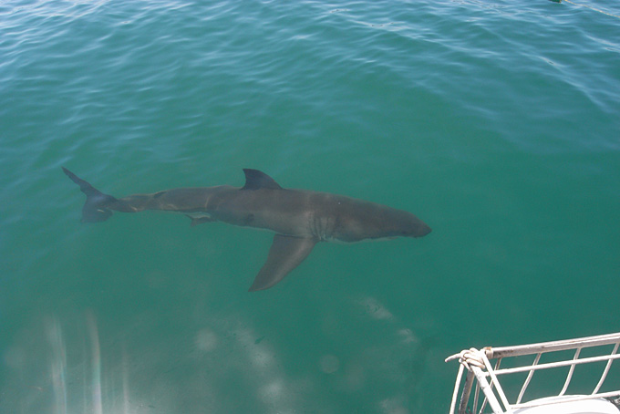 Shark Cage Diving in Gansbaai (Südafrika)