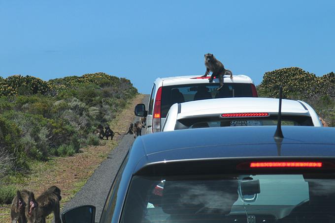 Freche Affen im Nationalpark des Kap der Guten Hoffnung