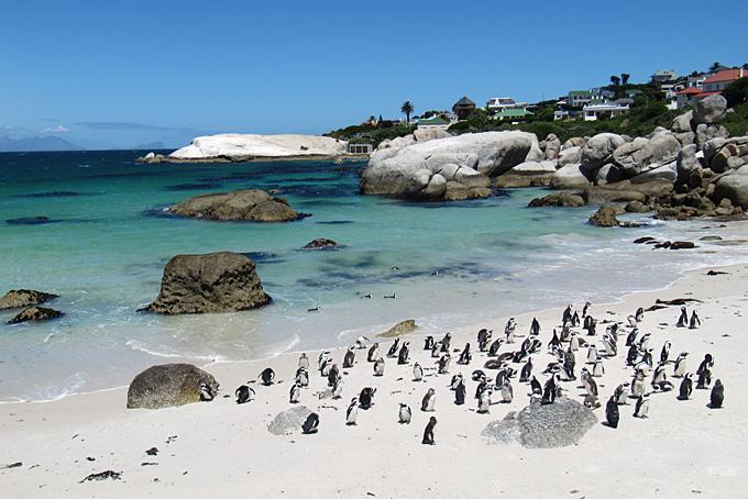 Pinguine am Bolders Beach