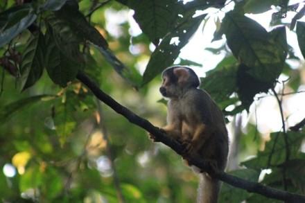 Totenkopfäffchen, Amazonastiefland, Peru