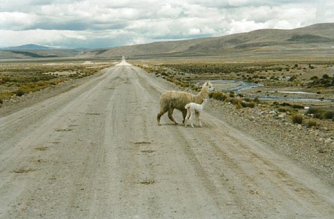 Lamas sur la route de Colca