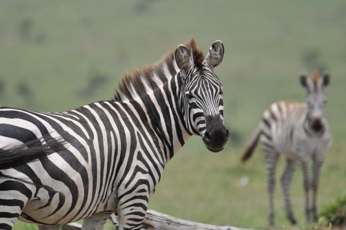 und Zebras stehen Porträt