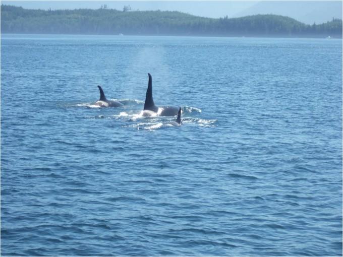 Whale Watching im Pazifik