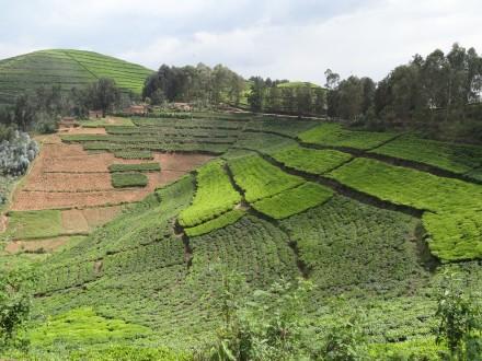 Ideales Klima für den Teeanbau