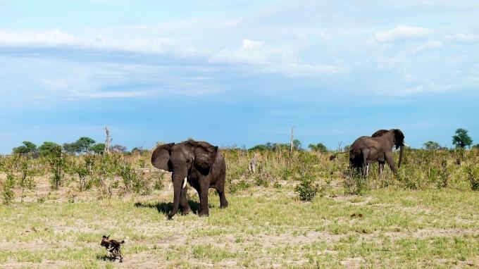 Elefantin rumpelt Wildhunde an
