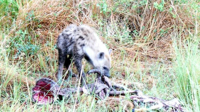 Junge Hyäne verzehrt Impalaknochen
