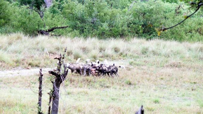 Wildhunde verzehren Impala