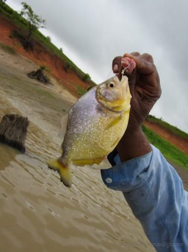 Piranha-Fischen
