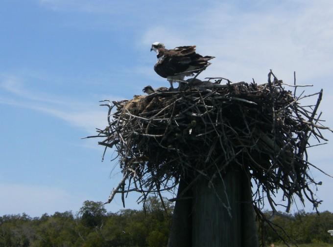 Un aigle sur son nid dans les Everglades