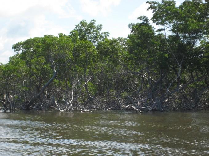 La mangrove est omniprésente dans les Everglades