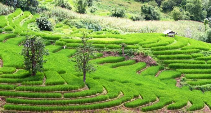 Reisfelder in Chiang Mai