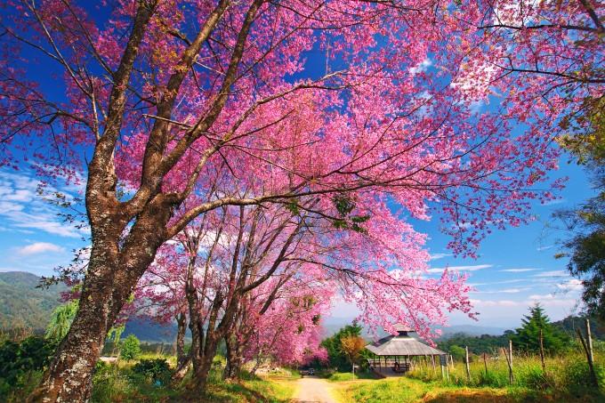 Pink Sakura Bäume