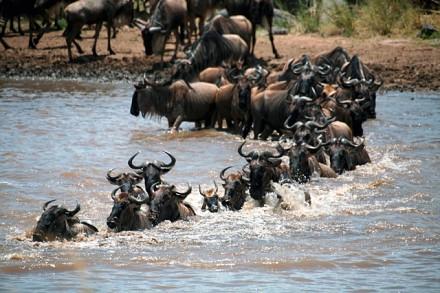 Flussüberquerung während der Migration