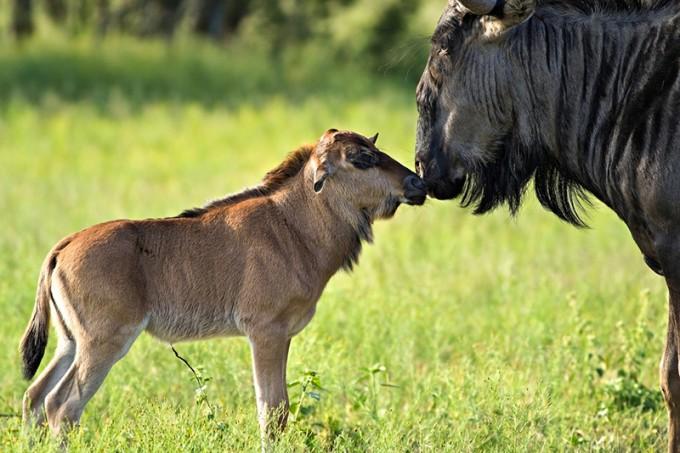 Wildebeest / Gnu mit ihrem Kalb