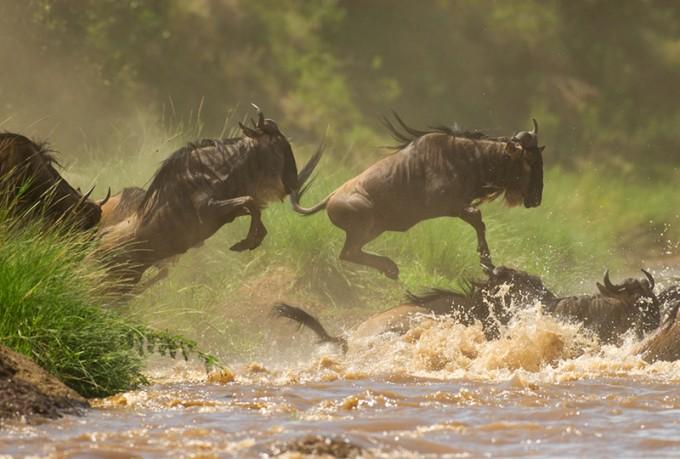 Wildebeest waährend der Flussueberquerung bei der Migration