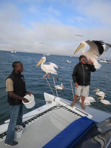 Pelikane besuchen uns auf dem Katamaran