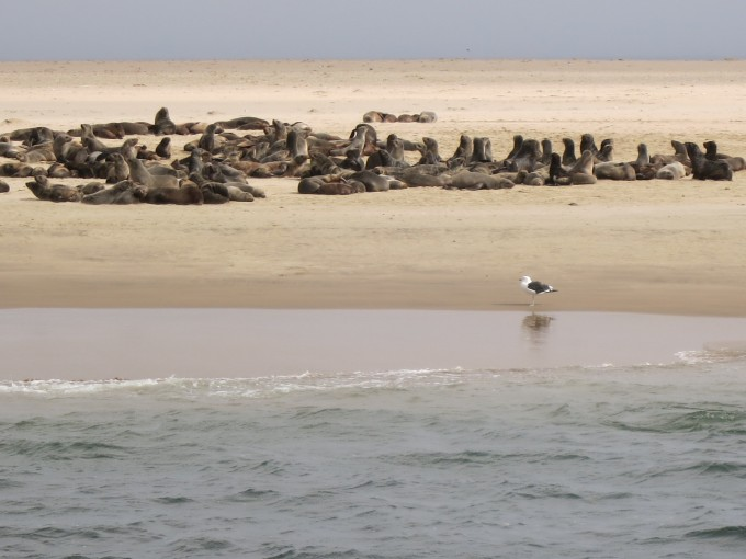 Seelöwen in der Walvis Bay