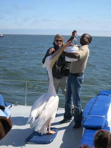 Diese Pelikane werden bis zu 1.6 Meter gross und haben bis zu 2.80 Meter Flügelspannweite