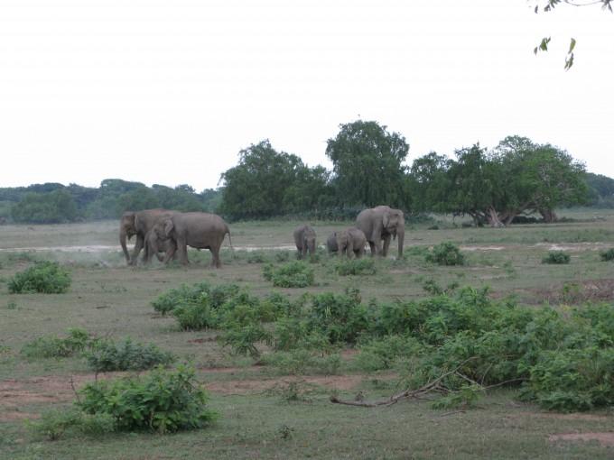 Wilde Elefanten im Yala Nationalpark