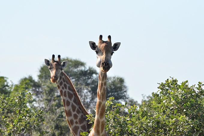 Neugierige Giraffen beobachten uns