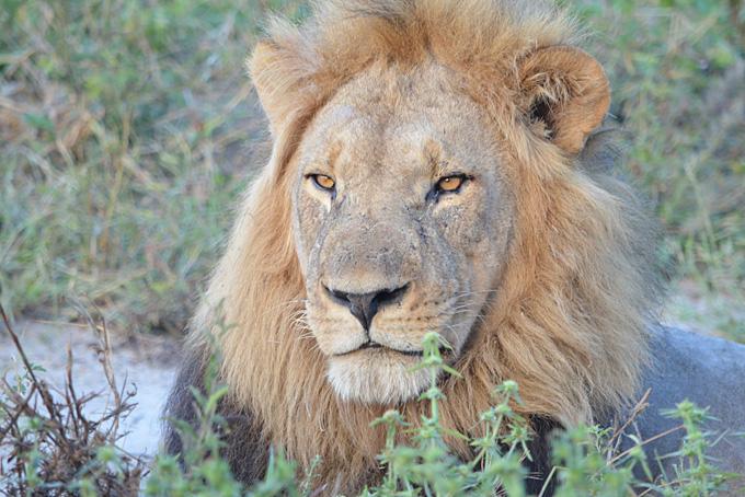 Ein Löwe mit sanftem Blick