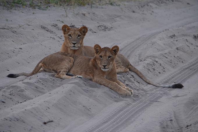 Die jungen Löwen ruhen sich aus