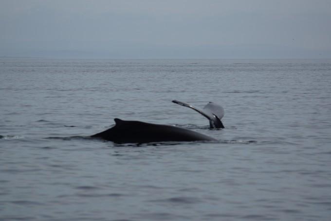 Buckelwale vor Tadoussac
