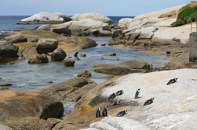 Pinguine bei Simons Town