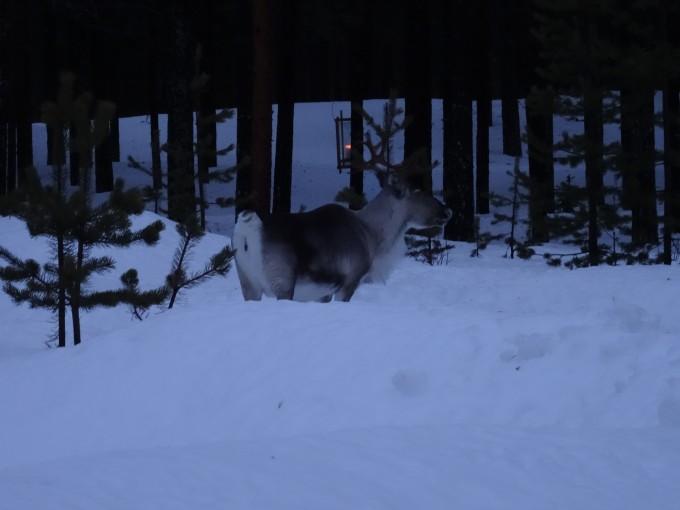 Ein wildes Rentier in Lappland