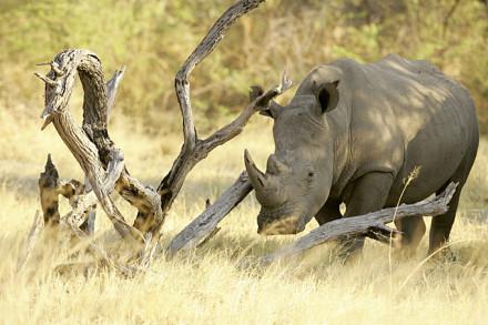 Südafrikas riesige Tierwelt: Ein Breitmaulnasshorn