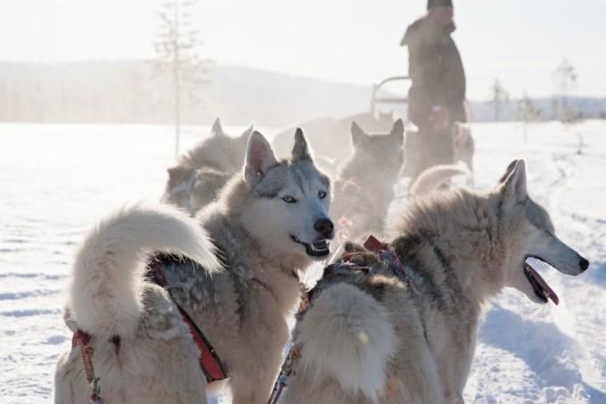 Hundeschlittensafari in Lappland erleben