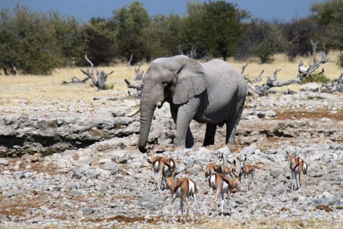 Antilopen und Elefanten im Etosha Nationalpark
