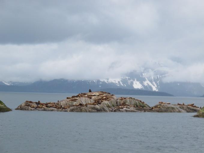 Seelöwen im Glacier Bay Nationalpark