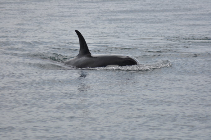 Orca im Kenai Fjords Nationalpark