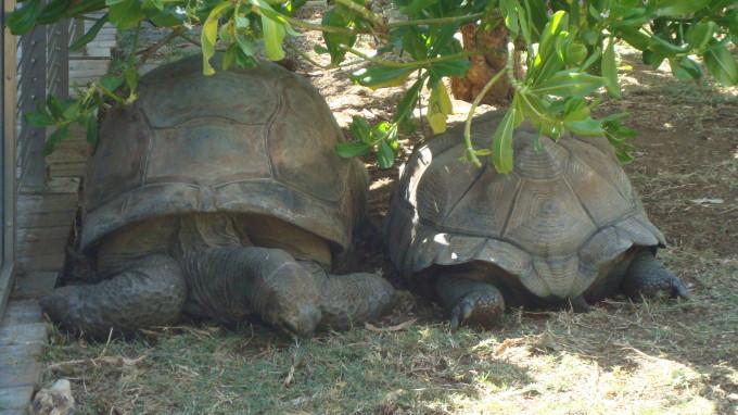 Schlidkröten in der Beobachtungsstation von St. Leu Kelonia