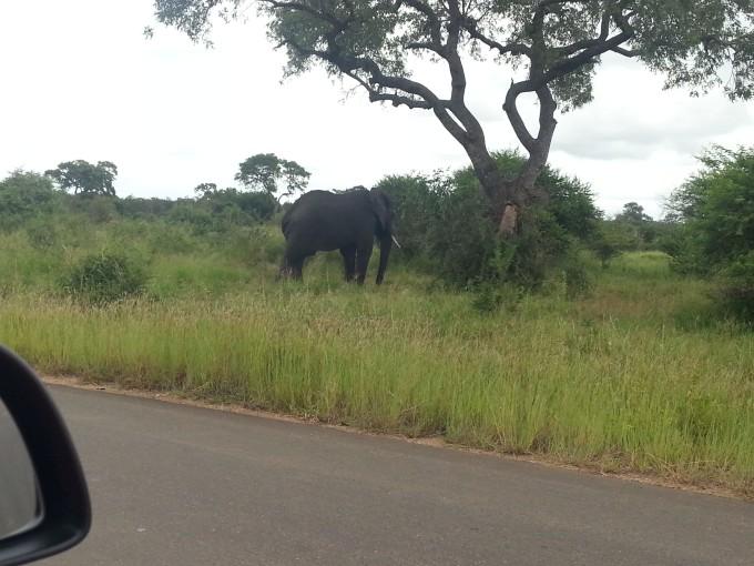 Elefant versperrt den Weg