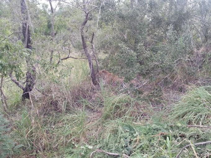 Leopard in Sabi Sabi gesichtet