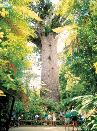 Der Tane Mahuta in Waipoua